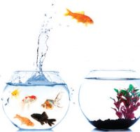 Goldfish jumping to new bowl